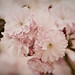 Pink Cherry Blossoms by NoVa Hokie
