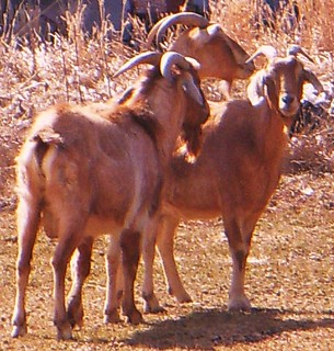 GOATS IN THE YARD