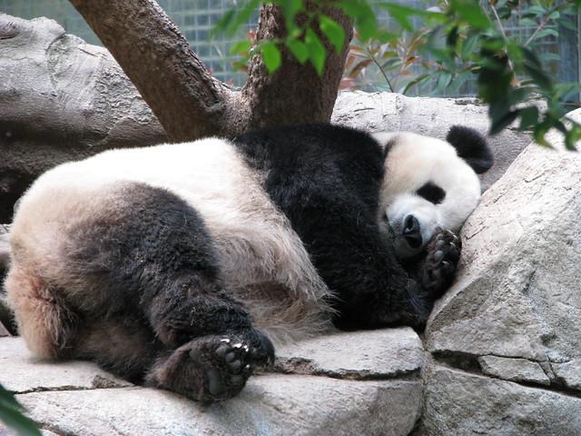Panda Sleeping   Flickr - Photo Sharing!