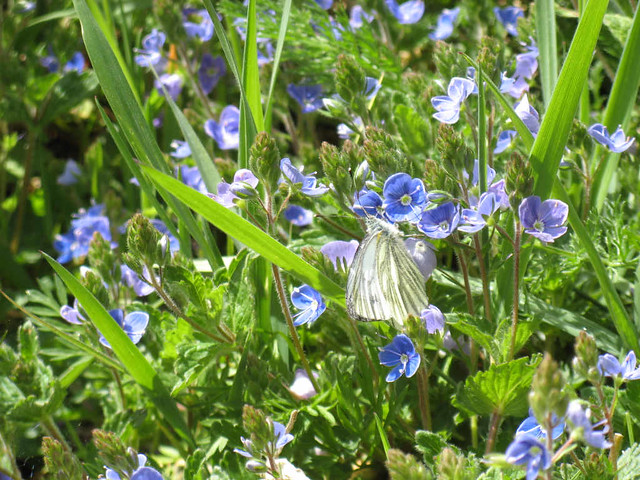 Green-veined White on ...