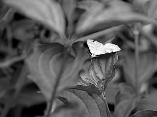 Moth (B&W)