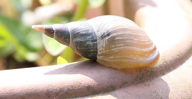 Great Pond Snail Flickr - Photo Sharing!