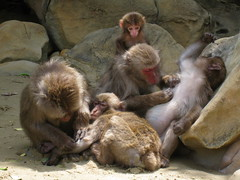 animal(1.0), baboon(1.0), monkey(1.0), zoo(1.0), mammal(1.0), fauna(1.0), japanese macaque(1.0), old world monkey(1.0),