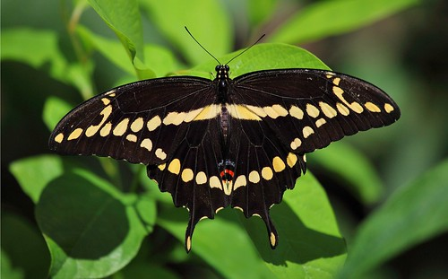 nature butterfly giant swallowtail