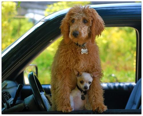 dog chihuahua cute dogs truck nikon tiny jasons doobie petite lapdog theperfectphotographer avathelabradoddle