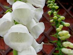 White Foxglove. Digitalis
