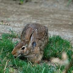 animal, hare, grass, rabbit, domestic rabbit, pet, fauna, wood rabbit, whiskers, rabits and hares, wildlife,
