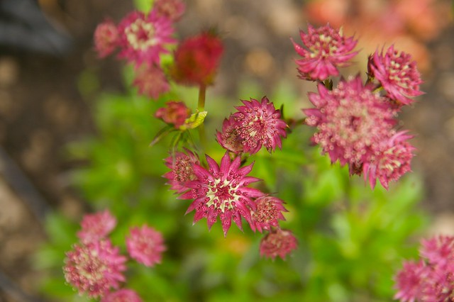 astrantia ruby wedding  343