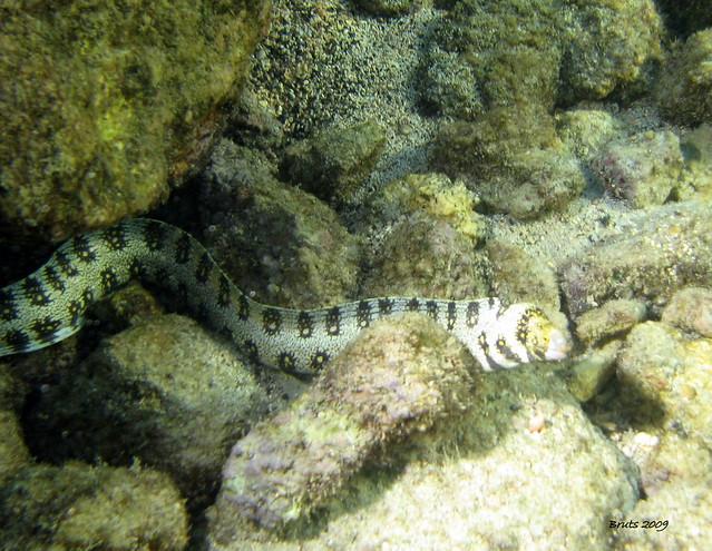 Snowflake Moray Eel Flickr - Photo Sharing!