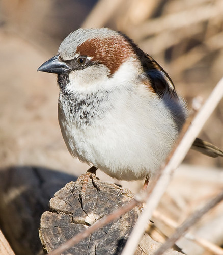 Just a house Sparrow