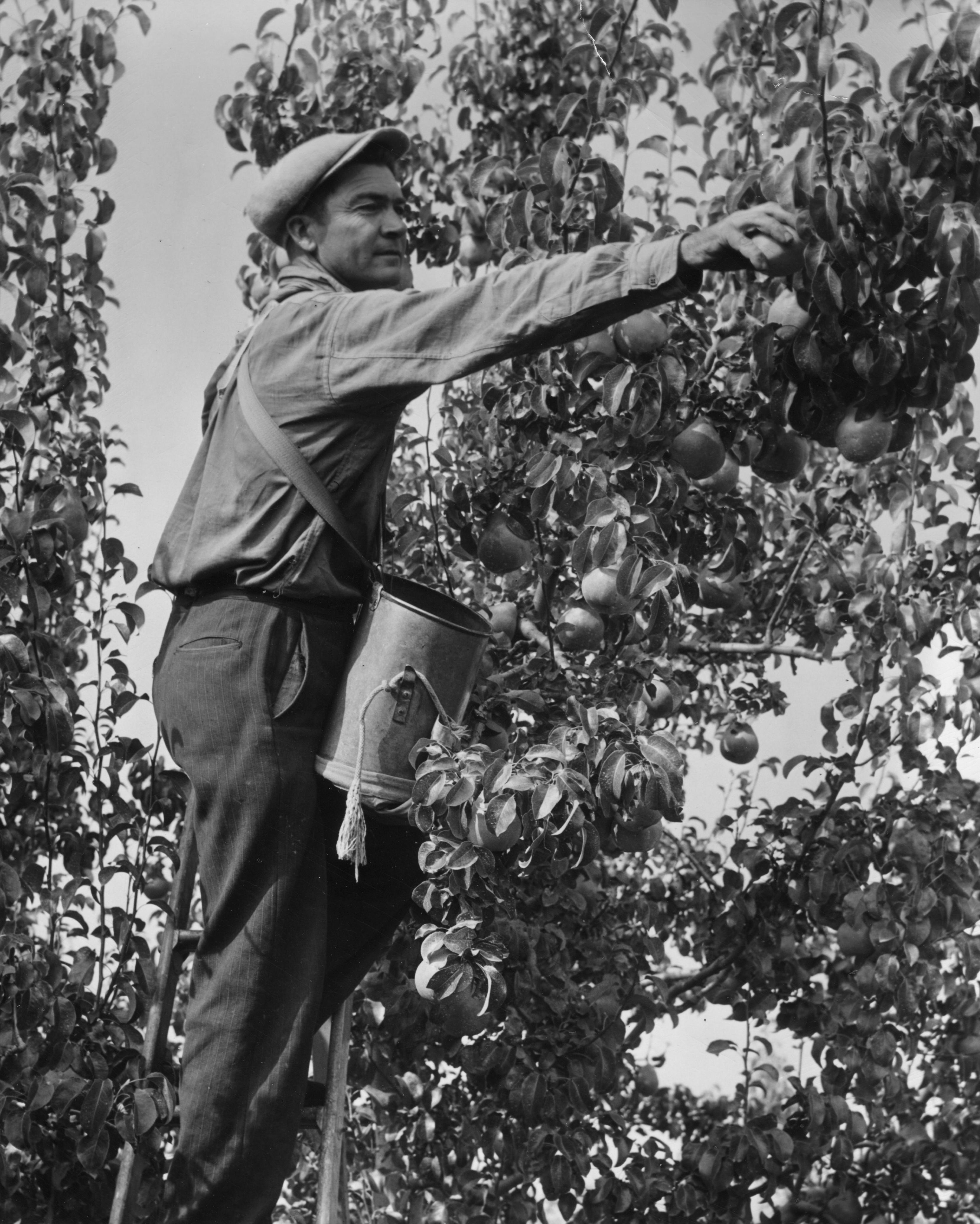 Pear picker near Medford, Oregon