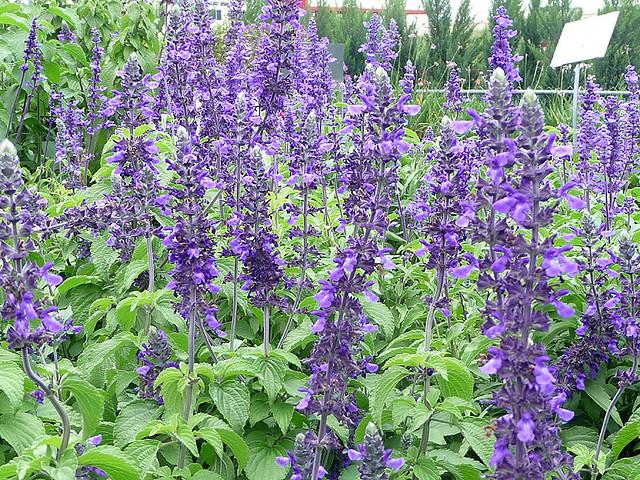 names of purple flowers  klejonka, Beautiful flower