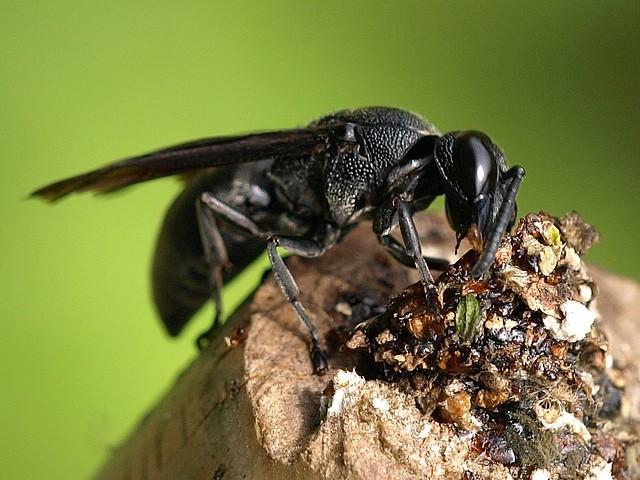 木蜂carpenter bee