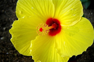 Yellow Hibiscus | by Andreanna Moya Photography