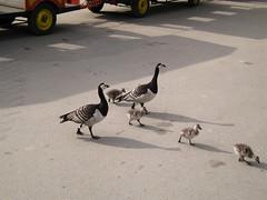 Stockholm, Skansen, duck family