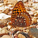 Great Spangled Fritillary - Photo (c) Jerry Oldenettel, some rights reserved (CC BY-NC-SA)