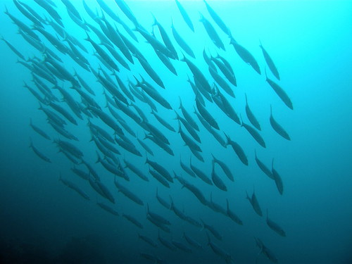 Fish shoaling over the reef
