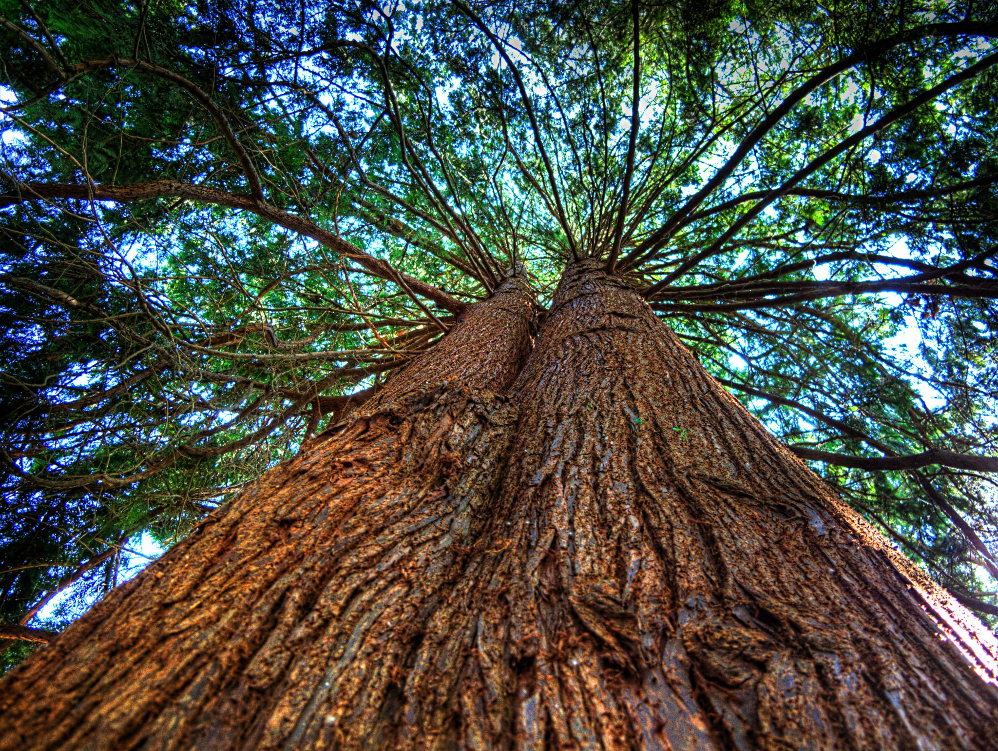 Western Red Cedar Tree ~ Western red cedar flickr photo sharing