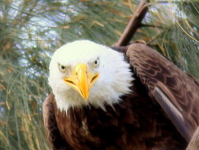 Eagle Face 20090323