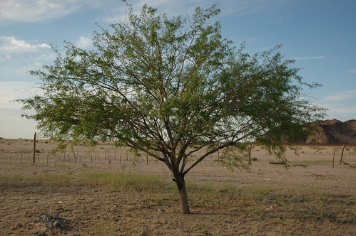 Tree, fences, along the border, Highway 2, Sonora Desert, mountains, northern Mexico by Wonderlane