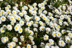 annual plant, flower, yellow, plant, marguerite daisy, chamaemelum nobile, tanacetum parthenium, daisy, wildflower, flora, oxeye daisy, meadow, chrysanths, daisy,