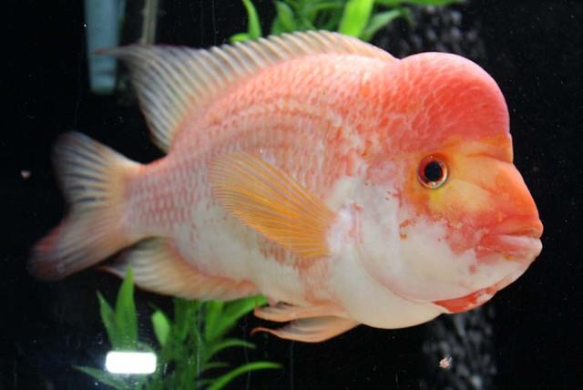Big devil fish related keywords big devil fish long tail for Red devil fish
