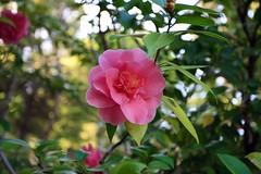 blossom(0.0), shrub(0.0), camellia(1.0), camellia sasanqua(1.0), flower(1.0), plant(1.0), flora(1.0), camellia japonica(1.0), theaceae(1.0),