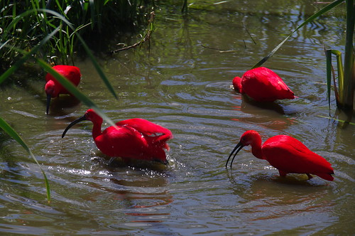 Reddest birds ever