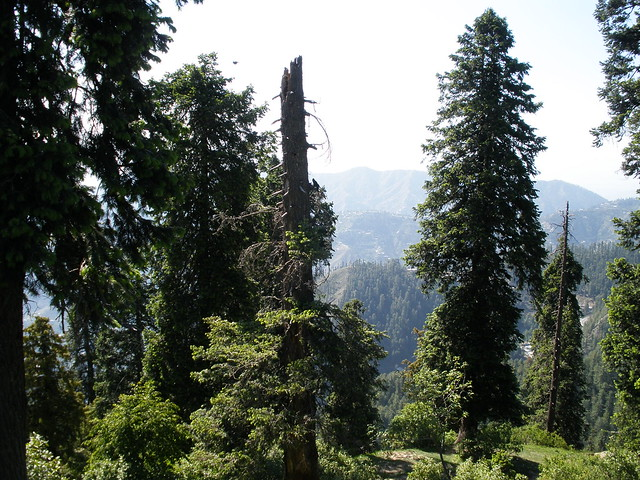 pine mountain valley mature personals Huge selection of hard-to-find pine trees available online  pines can make excellent shade trees when mature,  dwarf mountain pine.
