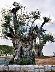 branch, tree, trunk, adansonia,