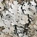 shield lichens - Photo (c) Amadej Trnkoczy, some rights reserved (CC BY-NC-SA)