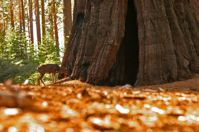 Deer in the sequoias