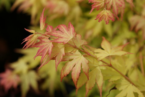 Acer palmatum 'Autumn Moon'