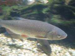carp(0.0), common rudd(0.0), koi(0.0), goldfish(0.0), animal(1.0), fish(1.0), fish(1.0), marine biology(1.0), fauna(1.0), milkfish(1.0),