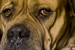 dog breed, nose, animal, dog, old english bulldog, snout, guard dog, close-up, carnivoran, bullmastiff, boerboel,