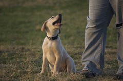 animal sports(0.0), puppy(0.0), whippet(0.0), animal(1.0), dog(1.0), pet(1.0), mammal(1.0), weimaraner(1.0),