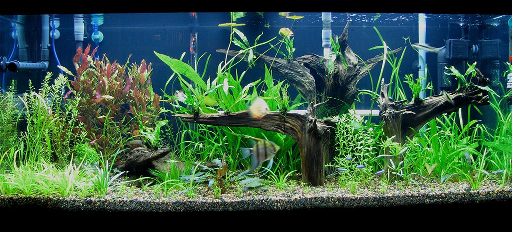 My planted 75g amazon tank aquarium forum for Amazon fish tank