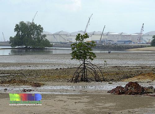 Mangroves on Pulau Hantu