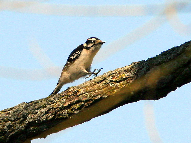 Downy Woodpecker Leaping 20090424