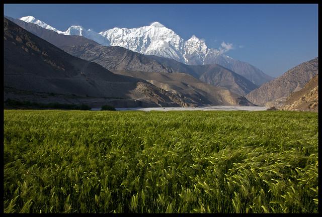Himalayan Wheat
