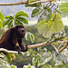 Mantled Howler Monkey (David Tipling)