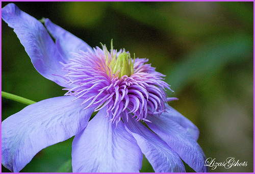 "Beautiful Clematis ""Multiblue""!!"