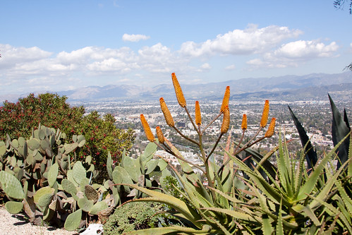 Aloe flowers overlooking the SF Valley