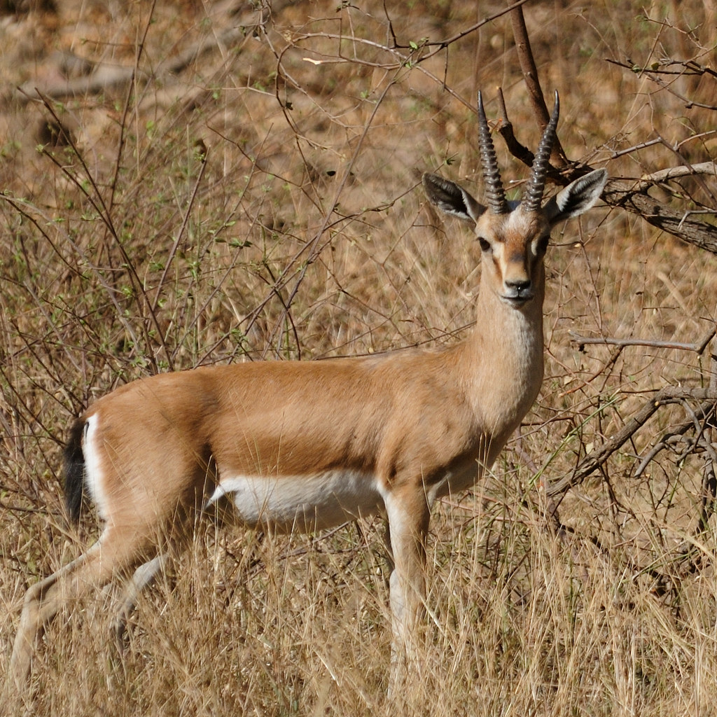 On Black Chinkara Indian Gazelle Ranthambhore By
