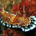 Nudibranch (Chromodoris sp.10 )