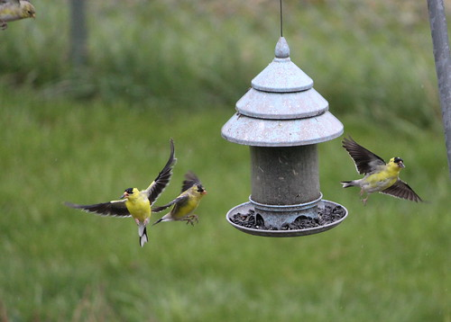 Flight of the Finches