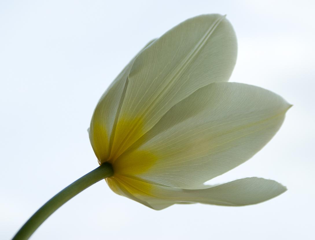 Tulipán / Tulip