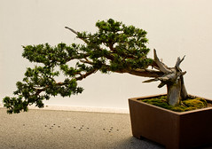 branch, tree, plant, sageretia theezans, houseplant, bonsai,