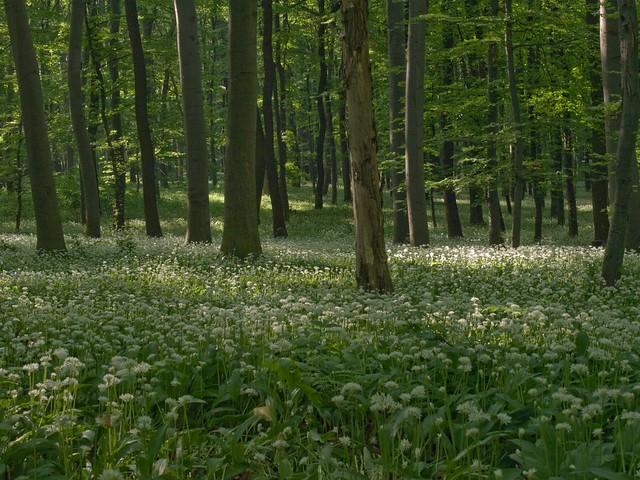 medvehagyma / Allium ursinum
