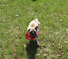 puppy(0.0), flower(0.0), boston terrier(0.0), animal(1.0), dog(1.0), pet(1.0), mammal(1.0), pug(1.0),